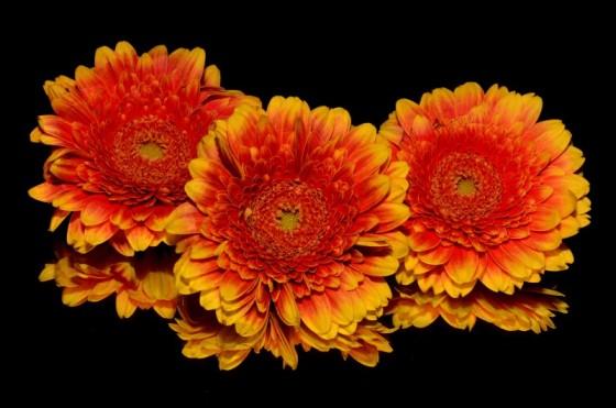 trei-flori-portocalii-800