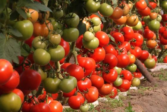 Prelungirea-termenului-privind-sprijinul-financiar-pentru-producătorii-de-tomate