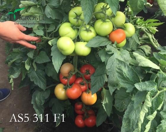 Tomate_semideterminat_311_F1